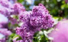 Vasarą pranašaujančios alyvos: kaip auginti namų kieme