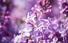 Alyvos – išimtis Lietuvos augalų pasaulyje