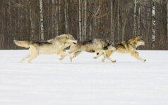 Šiaulių regione sumedžioti dar trys vilkai