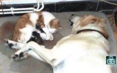 Šeimininkai filmavo katės gimdymą, o jūs pažiūrėkite, ką daro šalia esantis šuo!