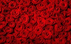 Faktai, kurių iki šiol nežinojote apie kultinę gėlę ir meilės simbolį – rožę