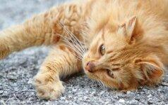 Kaip gelbėti katę nuo prarytų plaukų gumulų