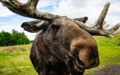 Vietos, kuriose didžiausia tikimybė atsitrenkti į laukinį žvėrį