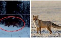 Kamera užfiksavo netikėtą reginį: rezervato užtvaras sujaukė lapės planus