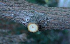 Kaip genėti medžius ir krūmus rudenį
