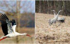 Pavasarį skelbiantys kadrai: sugrįžęs gandras ir nuostabus gervių tuoktuvių šokis