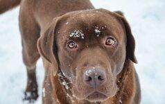 Kodėl geriau nežiūrėti nepažįstamam šuniui į akis