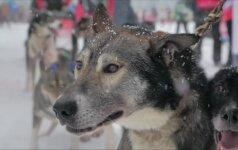 Alpėse vyko šunų kinkinių varžybos