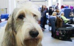 Tarptautinė šunų paroda: vieni šukuojami dvi paras, kiti į ringą atskuodžia iš medžioklės