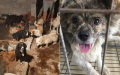Šunienos festivalis Kinijoje: aktyvistai išgelbėjo 135 mirties laukusius šunis