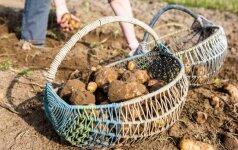 Būtina žinoti: kada ir kaip kasti bulves
