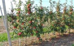 Praktiškas būdas, kaip sulaukti kokybiško vaisių derliaus