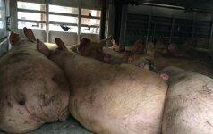 Maro kontrolė: pažeidimų daro ir smulkūs, ir stambūs kiaulių ūkiai