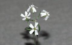Rusų genetikai išaugino prieš 30 tūkst. metų augusį augalą