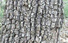 Manote, kad matote paprastą medį? Turite 30 sekundžių įžvelgti nuotraukoje kai ką daugiau