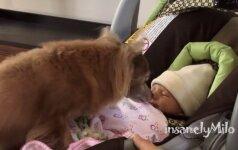 """Turite tai pamatyti: mažylis čihuahua pirmą kartą sutinka savo """"sesutę"""""""