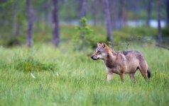 Prasideda vilkų medžioklės sezonas - kur medžios daugiausia?