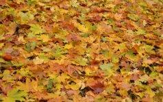 Klevų lapai - vieni spalvingiausių lapų rudenį.