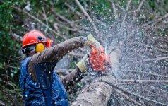 Kaip žinoti, ar medį galima kirsti?