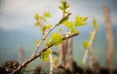 Kaip ir kodėl reikia genėti vynmedžius