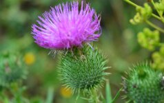 Aukso vertės lietuviška piktžolė ir kodėl jos taip nemėgsta prancūzai