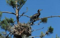 Kuršių nerijos paukščio rinkimai: tarp pirmaujančių - kormoranas