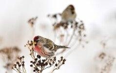 Mokslininkus nustebino paukščių žaidimai