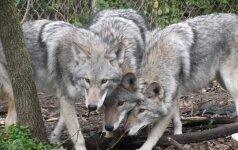 JAV okupuoja vilko, kojoto ir šuns mišrūnai