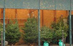Kalėdinių eglučių kainos nesikeičia: nuo 10 iki 130 litų