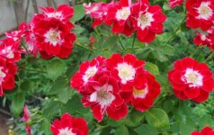 Sodybos aplinka Klaipėdoje: didžiausia rožių kolekcija Lietuvoje ir daugybė skiepytų augalų