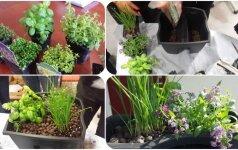 Puošiame balkonus ir terasas: kaip pasodinti gražią prieskoninių augalų kompoziciją