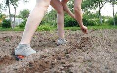 Vidury Vilniaus daržoves augins bendruomeniniame darže