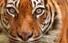 Anglijoje tigras sudraskė zoologijos sodo prižiūrėtoją