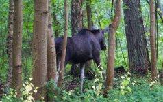 Miško savininkas apie žvėrių žalą: nereguliuojant būtų blogai