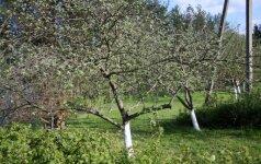 9 žingsniai, kaip sodinti medelius