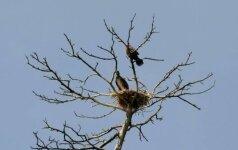 Ornitologai ruošiasi apginti didžiuosius kormoranus