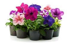 Sužinokite, ar kambariniai augalai gali pakenkti Jūsų sveikatai