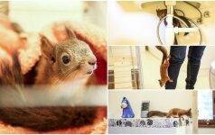 Išgelbėtas voveriukas šėlsta vilnietės namuose