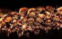 Šikšnosparnių naktis Verkiuose: ultragarso detektoriaus traškėjimas, 5 tūkst. uodų ir žmogaus dydžio šikšnosparniai