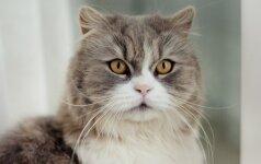 Škotų stačiaausės katės – ramybę mėgstantiems žmonėms