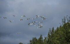 Mįslė ornitologams – dingo pusė per Lietuvą migruojančių paukščių