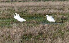 Nemuno deltoje nė kvapo stintų, užtat tiršta garnių