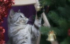 Juokinga dvikova: katės prieš kalėdines eglutes