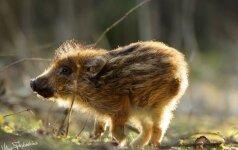 Gamtos fotografo akimis: šerniukas, kuriam gyventi liko kelios dienos