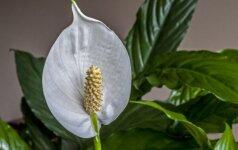 10 geriausių augalų, jeigu gyvenate bute