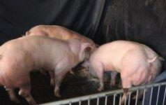 Super-raumeningos kiaulės (X-J. Yino nuotr.)