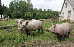 Primena apie biologinio saugumo priemones kiaulių ūkiuose