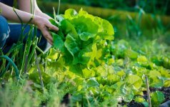 Ką galima pasodinti darže rugsėjo pradžioje?