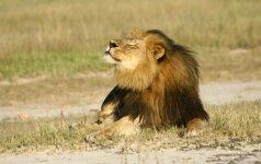 Į kelią per eismo piką išėjęs liūtas sužalojo senyvą vyrą