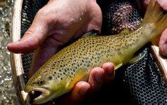Mažeikių upeliuose plaukios lašišinės žuvys
